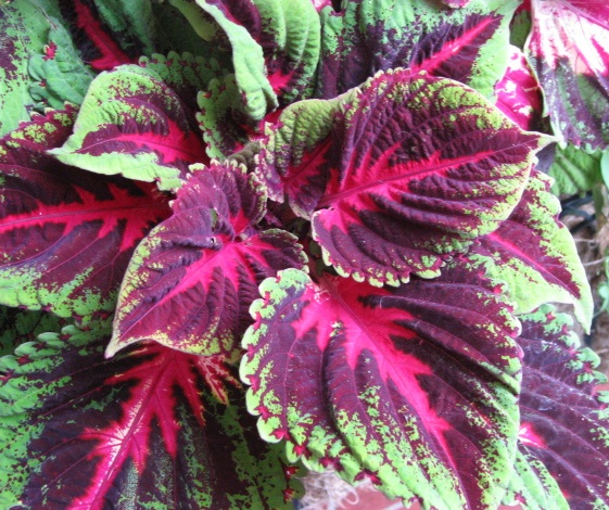 plants with colorful leaves  crazy for gardening, Natural flower