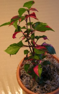 Alternanthera Partytime Plant - rooted from a cutting