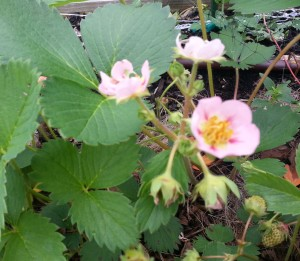 Lovely pink strawberry flowers
