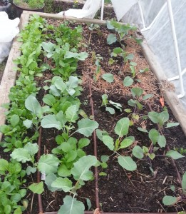 Raised bed with the Cabbage Family, Sweet Potatoes and Celery