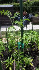 Stretch ties supporting Tomato Plants