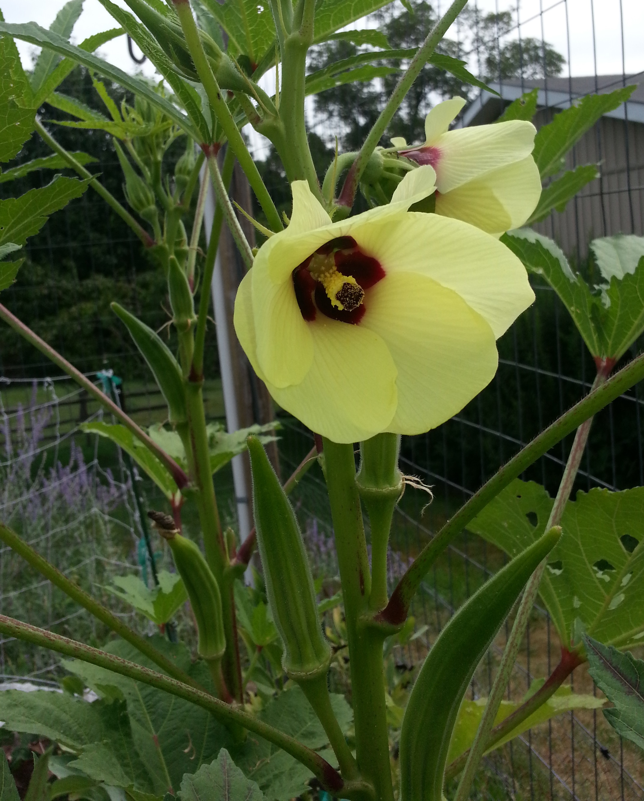 Sow And Grow Okra Crazy For Gardening