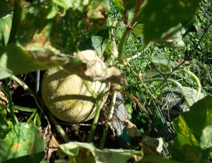 Cantaloupe Ready for Harvest