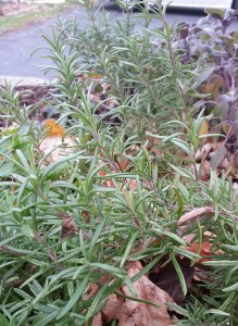 Rosemary in the Fall