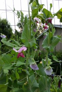Purpe & Pink Pea Flowers