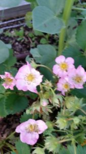 Strawberry Pink Blooms