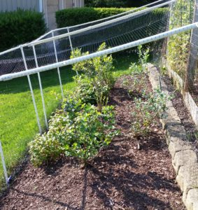 Plant And Grow Berry Bushes Crazy For Gardening