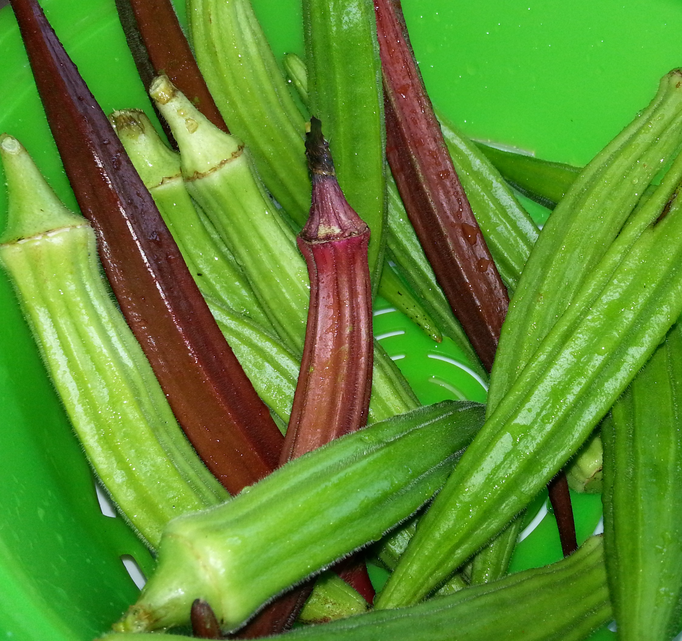 I Have Been Harvesting Okra Since The Middle Of July Ve Getting A Few Every Day Even Now In Mid September When Harvest Use Sharp Scissors